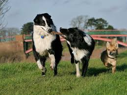 Are Border Collies Really the Smartest Dogs?