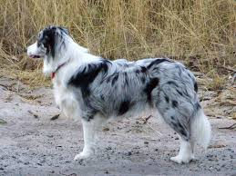 Border Collies as Pets- What You Need to Know