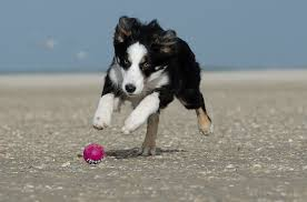 Border Collies as Working Dogs